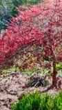 Árvore vermelha lindo fotografia de stock