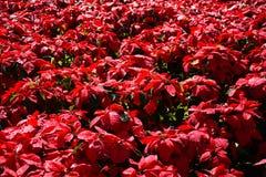 Árvore vermelha no jardim Imagem de Stock