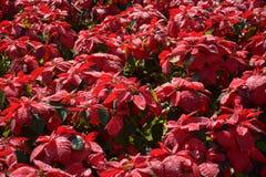Árvore vermelha no jardim Fotos de Stock