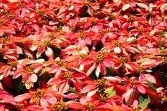 Árvore vermelha no jardim Fotografia de Stock Royalty Free