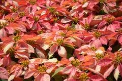 Árvore vermelha no jardim Fotos de Stock Royalty Free