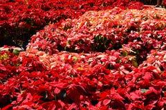 Árvore vermelha no jardim Imagem de Stock Royalty Free