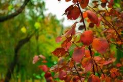 A árvore vermelha sae do close up Imagem de Stock Royalty Free