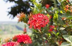 Árvore vermelha tropical nativa do grupo do Rubiaceae da flor no highla da natureza Fotografia de Stock Royalty Free