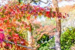Árvore vibrante da folha de bordo vermelha colorida no outono de Japão Imagens de Stock Royalty Free