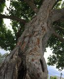 Árvore Warty maravilhosa Fotos de Stock