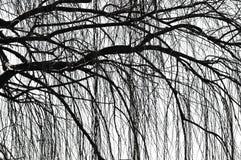Árvore Weeping Fotografia de Stock Royalty Free
