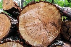 Árvores abatidas em um close-up da floresta Fotografia de Stock