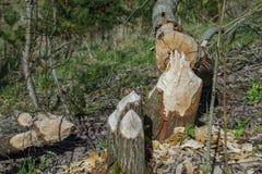 Árvores abatidas por castores Fotos de Stock