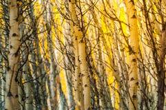Árvores abstratas do álamo tremedor de Colorado do teste padrão do fundo Imagem de Stock Royalty Free