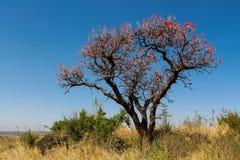 Árvores africanas na flor no arbusto do savana Imagem de Stock Royalty Free