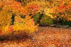 Árvores alaranjadas Fotografia de Stock Royalty Free