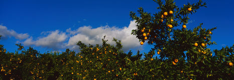 Árvores alaranjadas com laranjas maduras imagens de stock royalty free