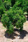 Árvores alaranjadas, Silves, Portugal Imagens de Stock Royalty Free