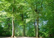 Árvores altas Imagens de Stock Royalty Free
