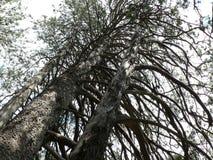 Árvores altas Foto de Stock Royalty Free