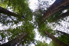 Árvores altas Imagem de Stock
