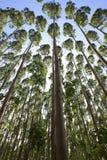 Árvores altas fotos de stock royalty free