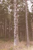 Árvores altas bonitas na floresta fotografia de stock