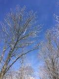 Árvores altas com neve de queda Fotografia de Stock
