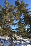 Árvores altas com rochas cobertos de neve Fotos de Stock Royalty Free