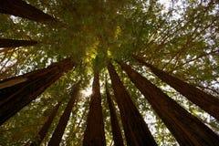 Árvores altas da sequoia com o Sun que filtra completamente foto de stock royalty free