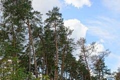 Árvores altas do pinho na floresta contra o céu Fotos de Stock
