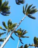 Árvores altas do plam de Paia Imagem de Stock