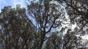 Árvores altas e fortes vento dos ramos video estoque