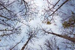 Árvores altas em uma floresta seca com fundo do céu nebuloso Fotografia de Stock Royalty Free