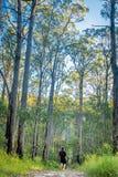 Árvores altas gigantescas nas florestas de Austrália Fotos de Stock Royalty Free