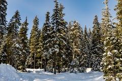 Árvores altas na borda de Stevens Pass Lot 3 parques de estacionamento com um snowbank branco fresco na parte dianteira imagens de stock royalty free