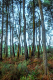 Árvores altas na floresta foto de stock royalty free