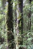 Árvores altas na floresta tasmaniana imagem de stock