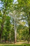 Árvores altas no parque Foto de Stock Royalty Free