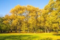 Árvores amarelas Fotografia de Stock Royalty Free