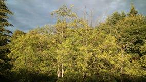 Árvores amarelas Foto de Stock