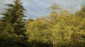 Árvores amarelas Imagem de Stock Royalty Free