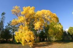 Árvores amarelas do outono Foto de Stock