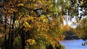 Árvores amarelas do outono com as folhas nos ramos no parque contra o rio ou o lago vídeos de arquivo