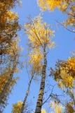 Árvores amarelas do outono em um céu azul foto de stock