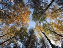 Árvores amarelas e verdes da floresta do outono Fotos de Stock Royalty Free