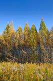 Árvores amarelas em uma fileira e em uma grama Fotografia de Stock Royalty Free