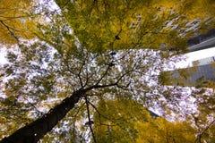 Árvores amarelas Zuccotti Park foto de stock royalty free