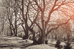 Árvores antigas com ramos desencapados de encurvamento nodosos sem folhas fotografia de stock royalty free
