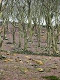 Árvores austeros do inverno da floresta com ramos torcidos em um montanhês com bareground com uma parede de pedra arruinada e uma foto de stock