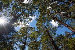 Árvores australianas altas em uma floresta que alcança até um céu azul imagens de stock