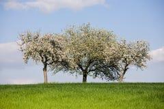 Árvores blossomy triplas Fotos de Stock