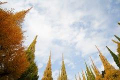 Árvores bonitas da nogueira-do-Japão contra o céu azul no outono em Meiji Jingu Gaien Park, Tóquio - Japão imagens de stock