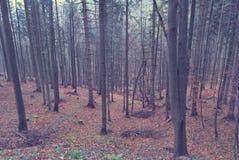 Árvores bonitas durante a queda na floresta imagem de stock royalty free